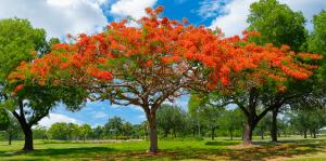 living color garden center shade trees south florida landscape royal poinciana tree