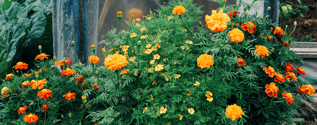 living color how when to divide perennials blooming marigolds