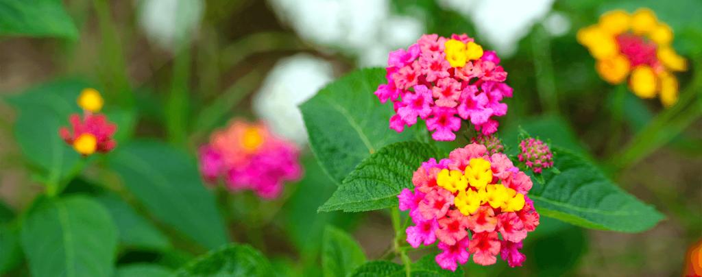 living color how when to divide perennials lantana