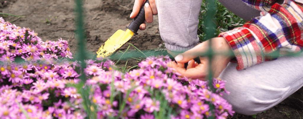 living color how when to divide perennials person digging asters