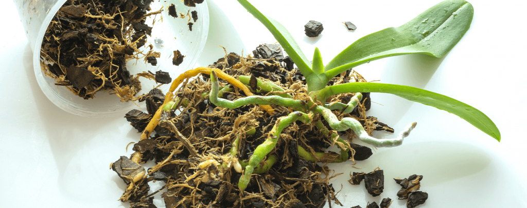 living color garden center grow healthy orchids outdoors orchid root ball