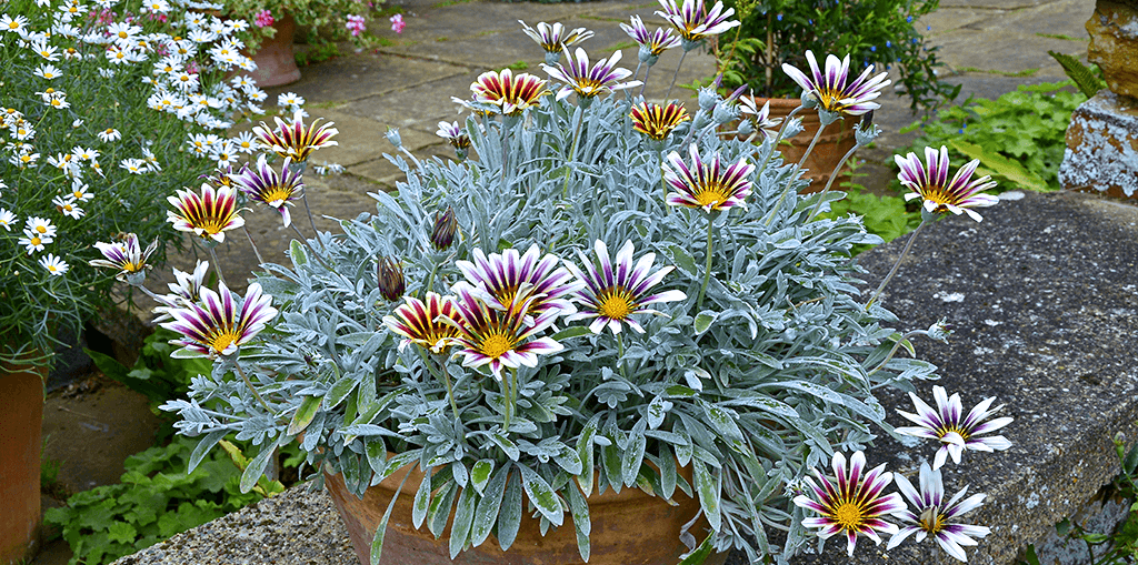 living color garden center heat tolerant annuals gazania daisies in clay pot