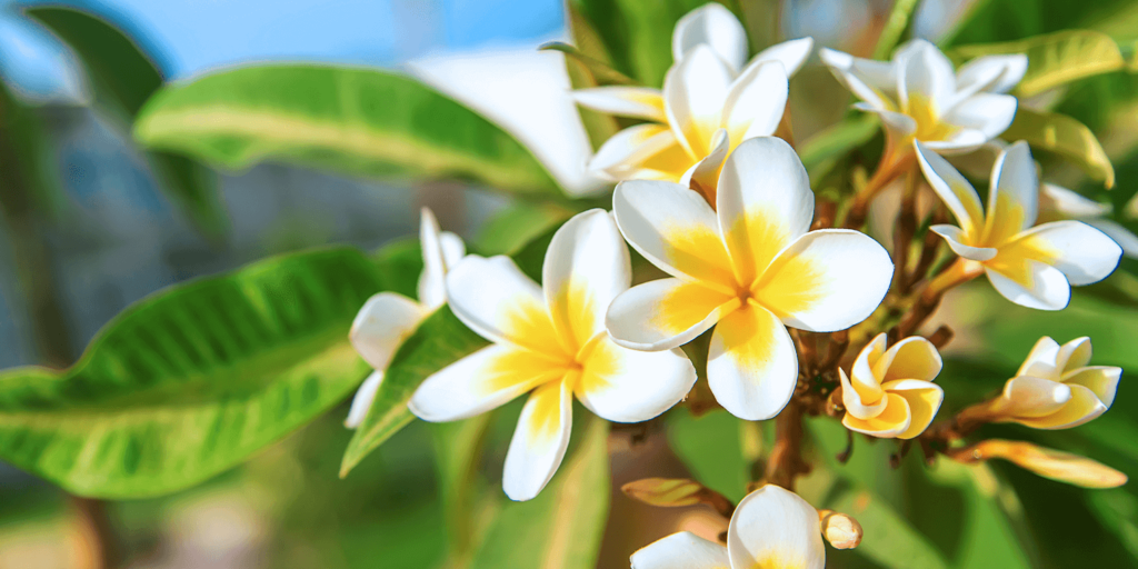 living color garden center caring for plumeria white yellow blooms