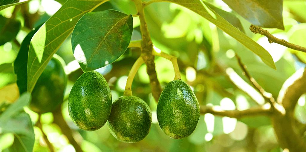 living color garden center grow avocado tree guacamole