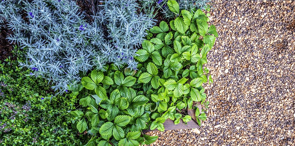 living color garden center intro to edible landscaping strawberries rock garden