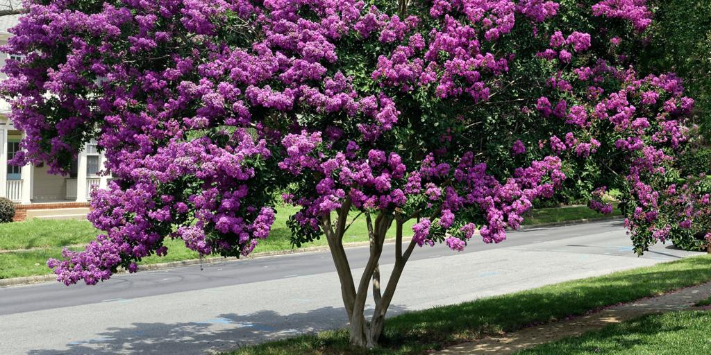 living color garden center crape myrtles summer blooming catawba purple tree