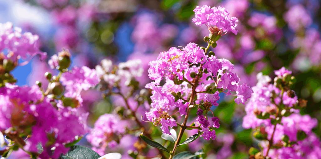living color garden center crape myrtles summer blooming pink flowers