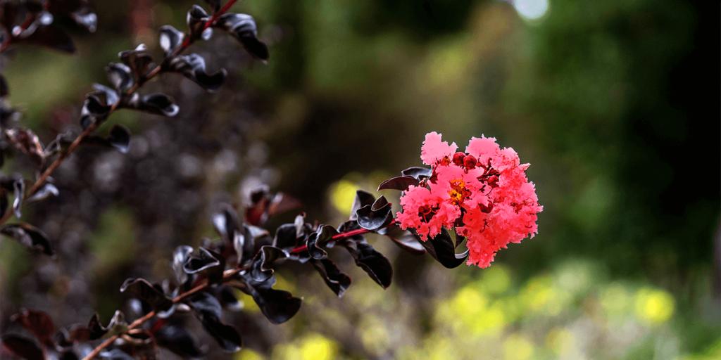 living color garden center crape myrtles summer blooming red flowers black diamond