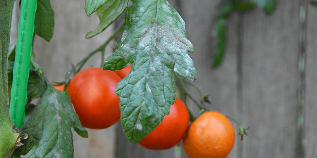 living color garden center powdery mildew prevention tomatoes