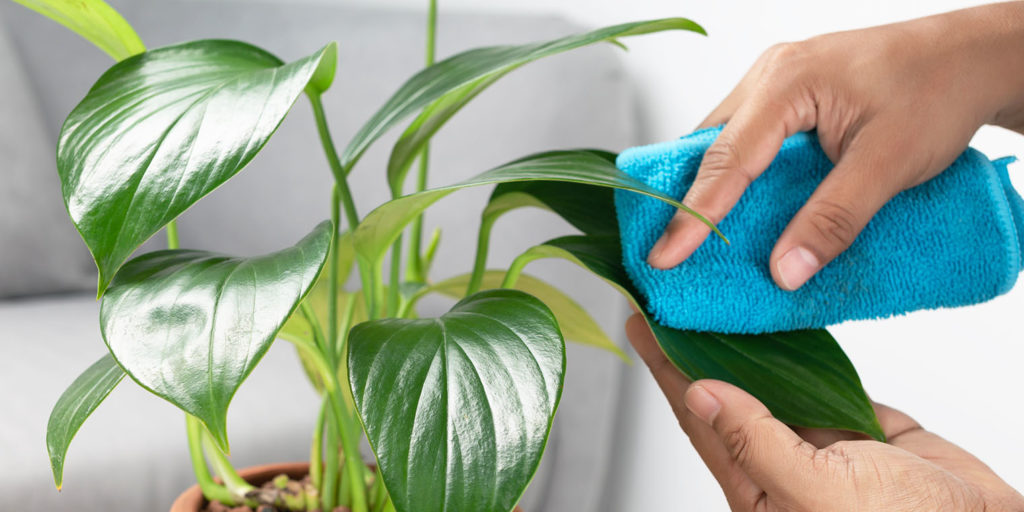 wiping down leaves of houseplant