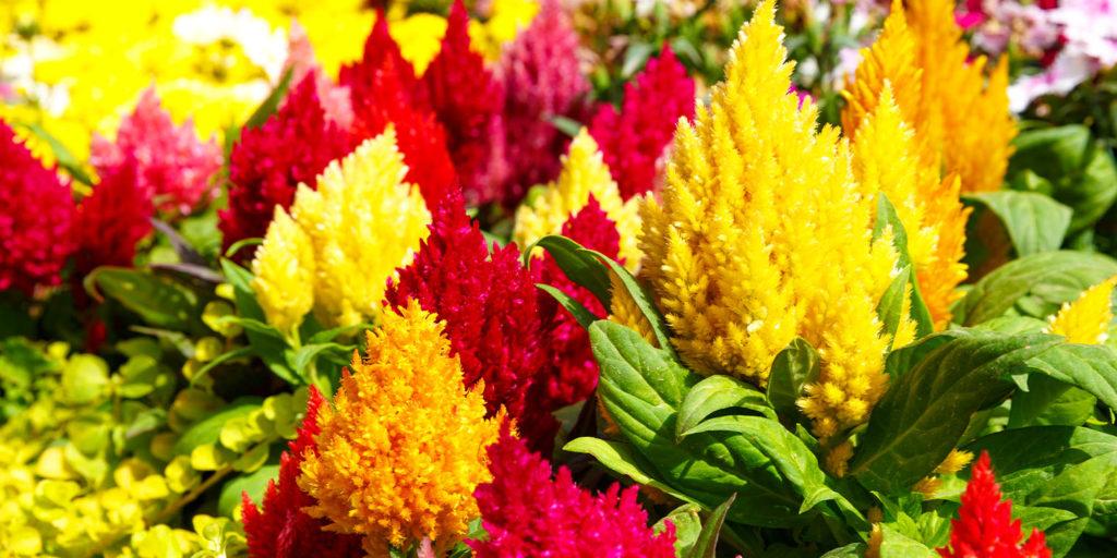 celosia flowers Living Color garden center