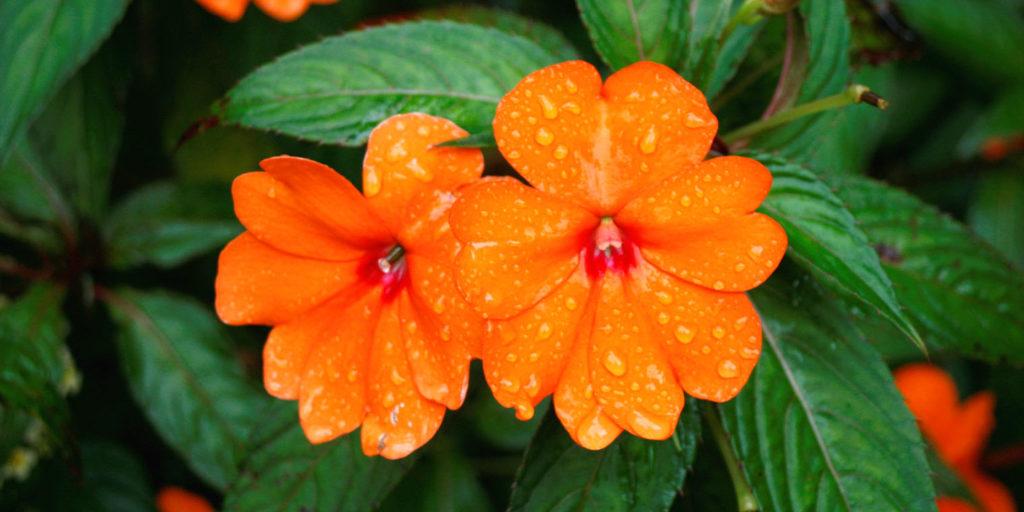 living color garden center orange impatien flowers