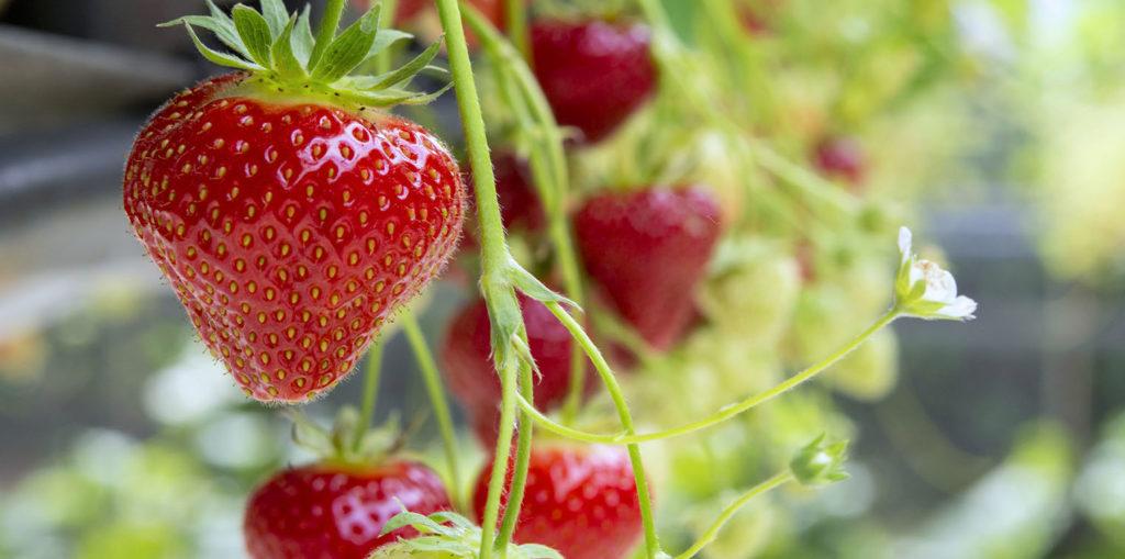 Living color garden center strawberry plant