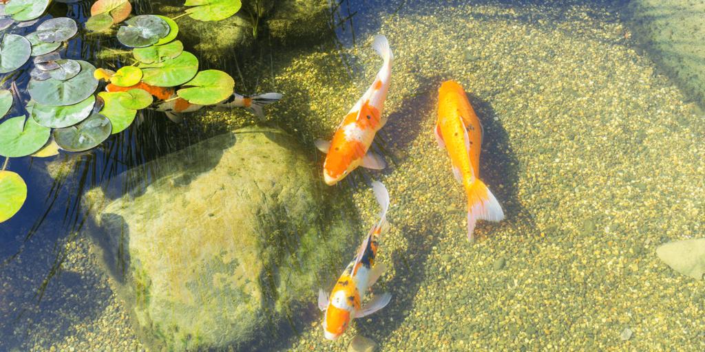 living color garden center fish in pond