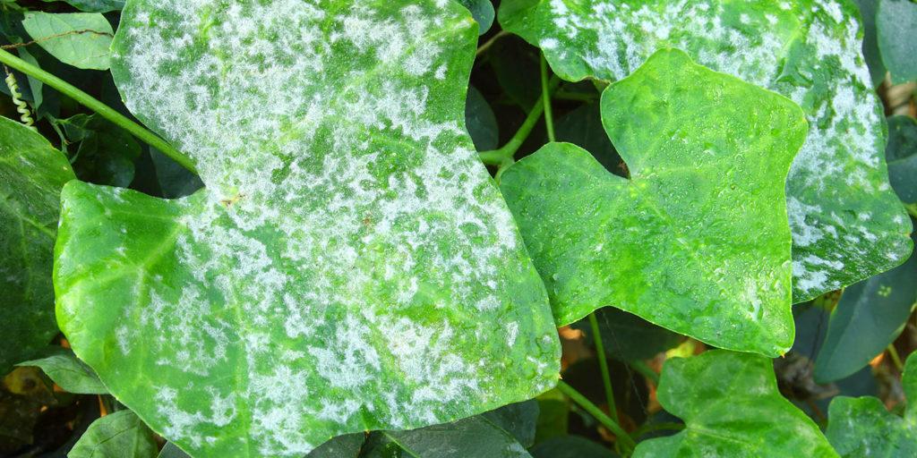 powdery mildew on leaves Living color garden center